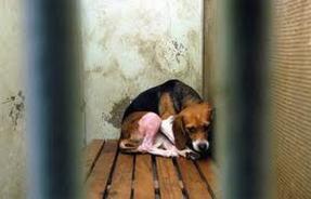 beagle cage