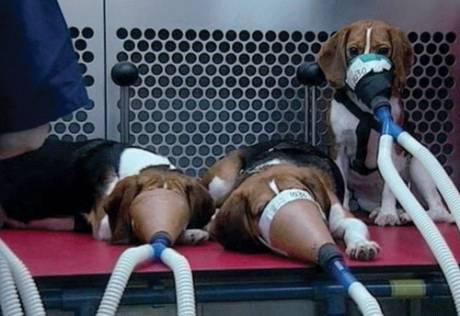 beaglesmoking